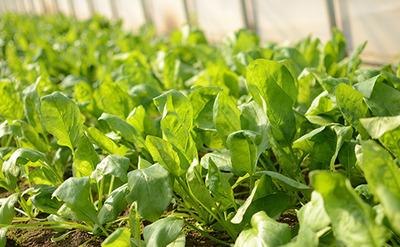いわき農園のほうれん草たくさんセット03.jpg