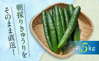 白石集落農業生産組合 きゅうり(約5kg).jpg